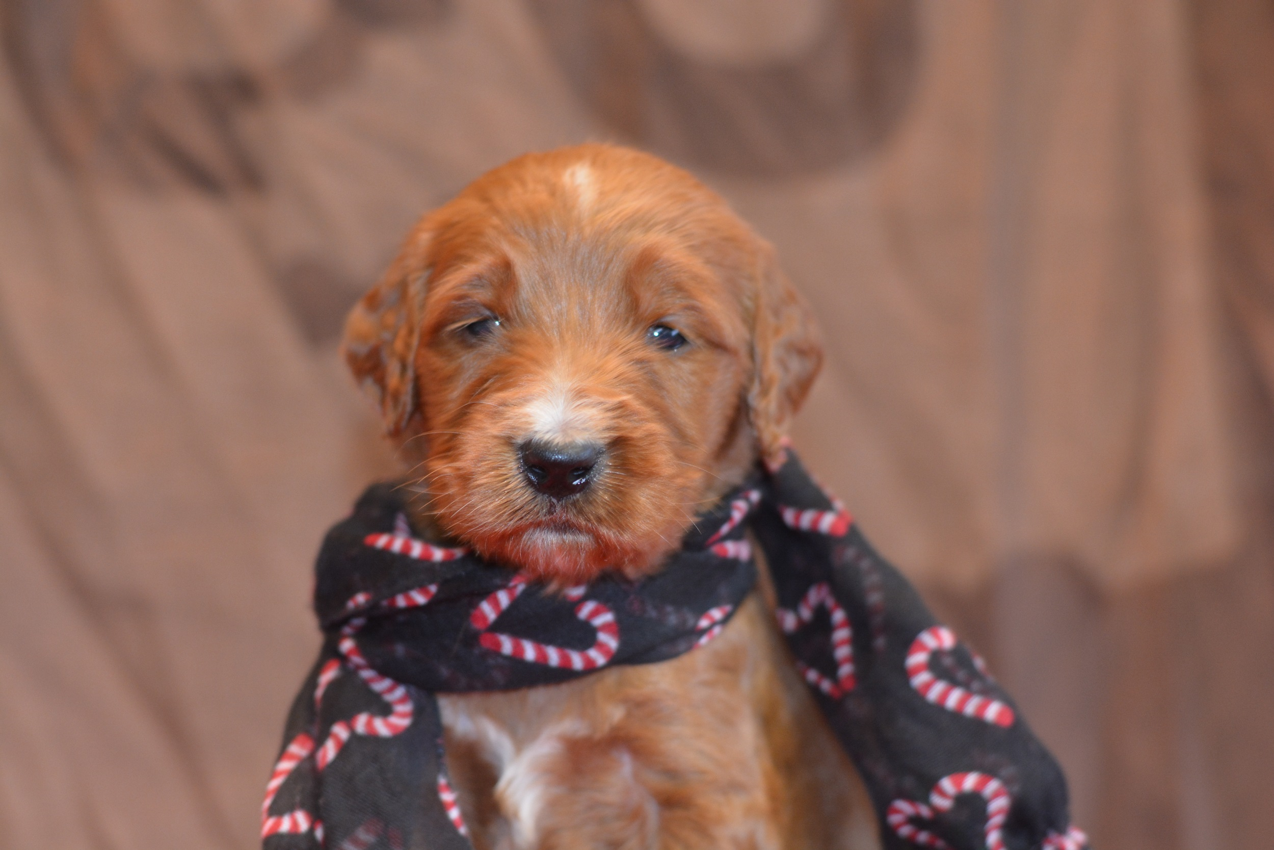 Keep an eye on our blog and available puppy page for updates. We are accepting deposits on all litters. They go fast. Call Dawn 937-253-0379 or email kareawaykennels@yahoo.com. our website www.kareawaykennels.com for a whole bunch of other fun stuff.