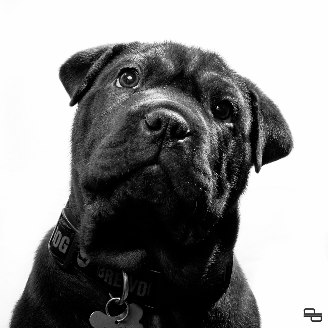 Meatball, dog, portrait, flash, white background, black, monochrome, Fuji, X-t1