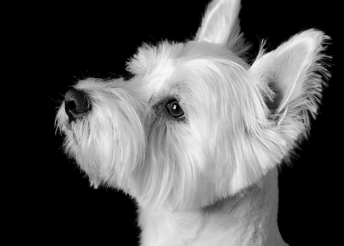 Black and white portrait of Elvis a Westie dog.