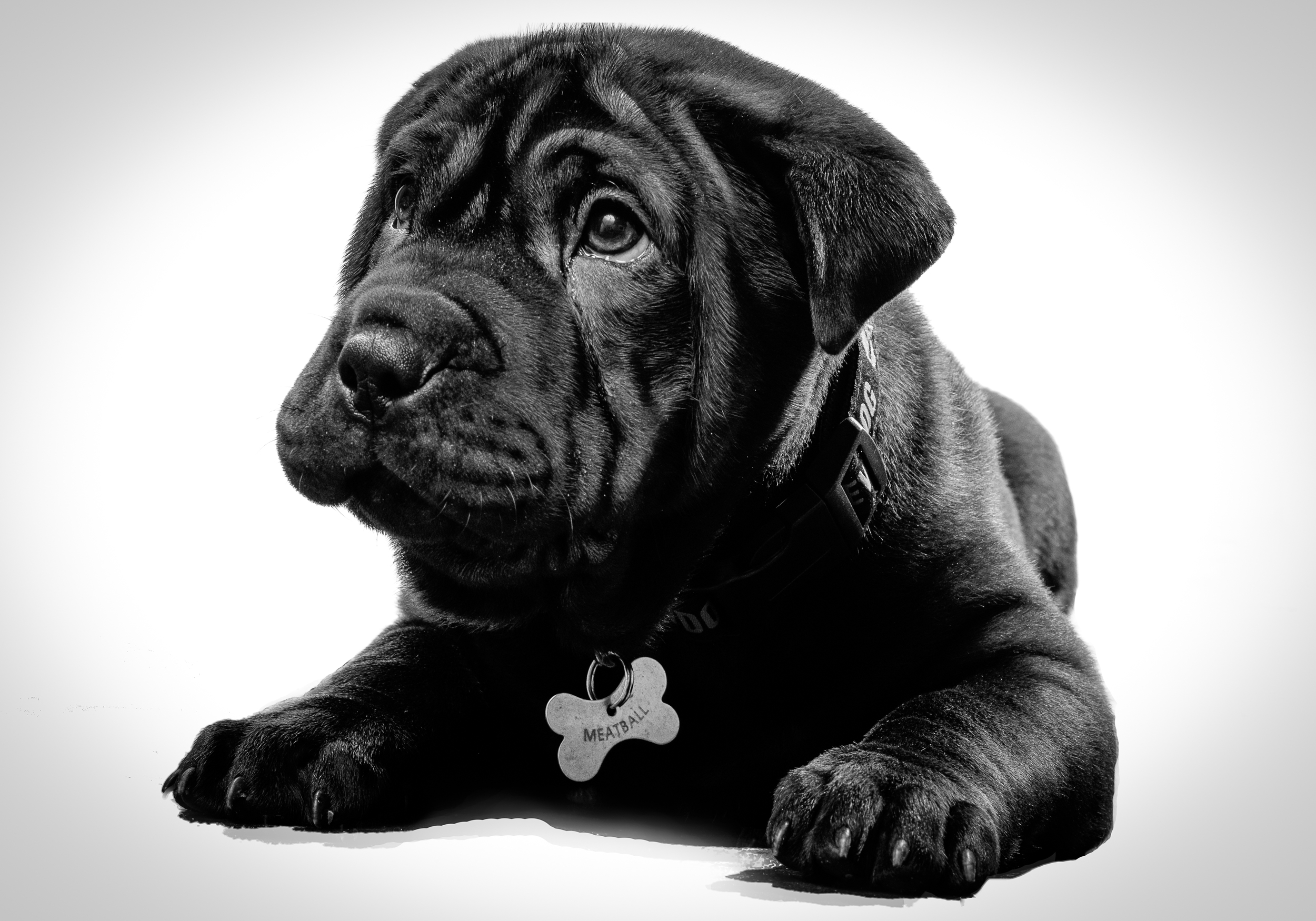 Bull-Pei puppy dog portrait in black and white with the dog, Meatball lying down facing the camera.