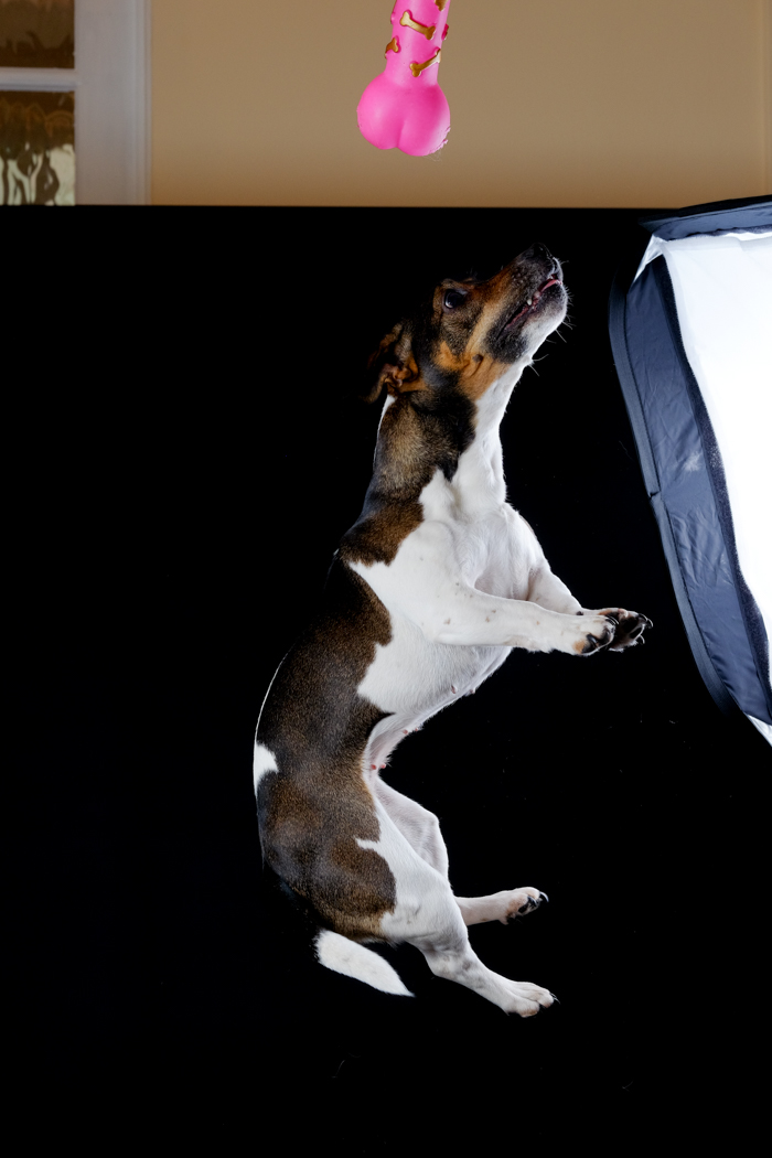 Terrier jumping for toy dog studio portrait