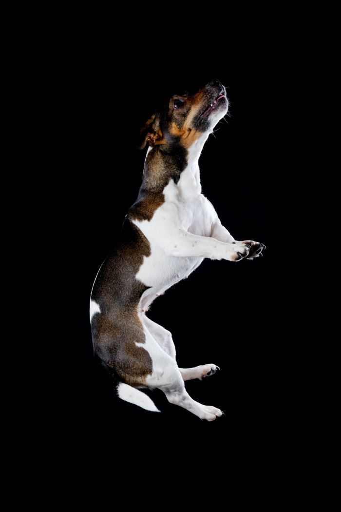 Holly -black, white and tan Jack Russell jumping mid air.