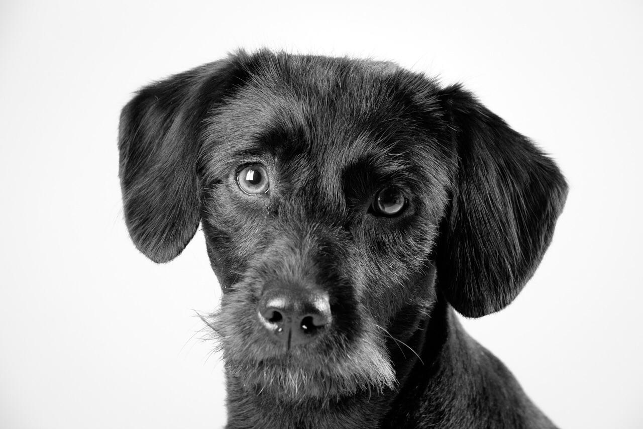 Pepper - black Labradoodle face on a light grey background