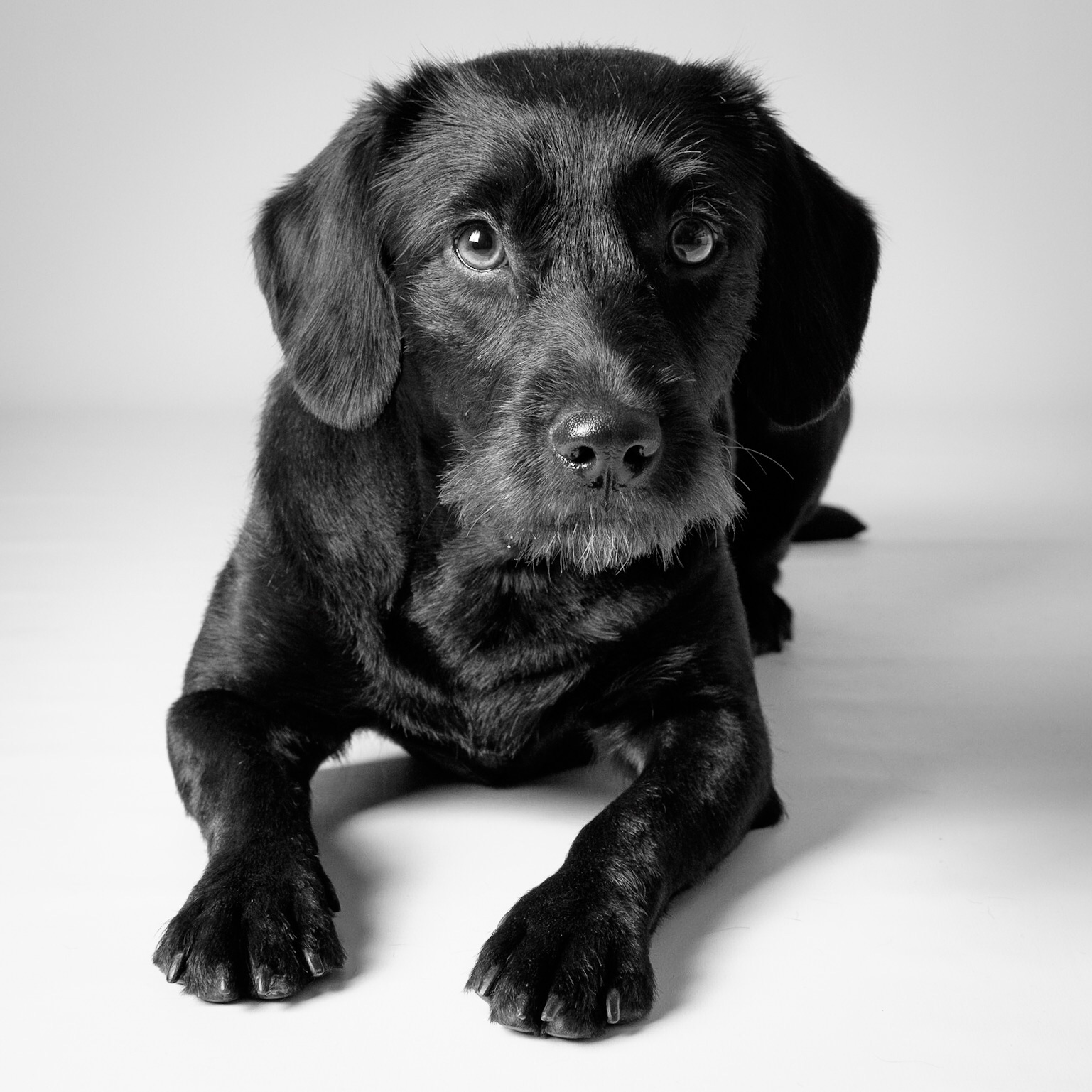 Pepper - black Labradoodle laying down facing front on grey background