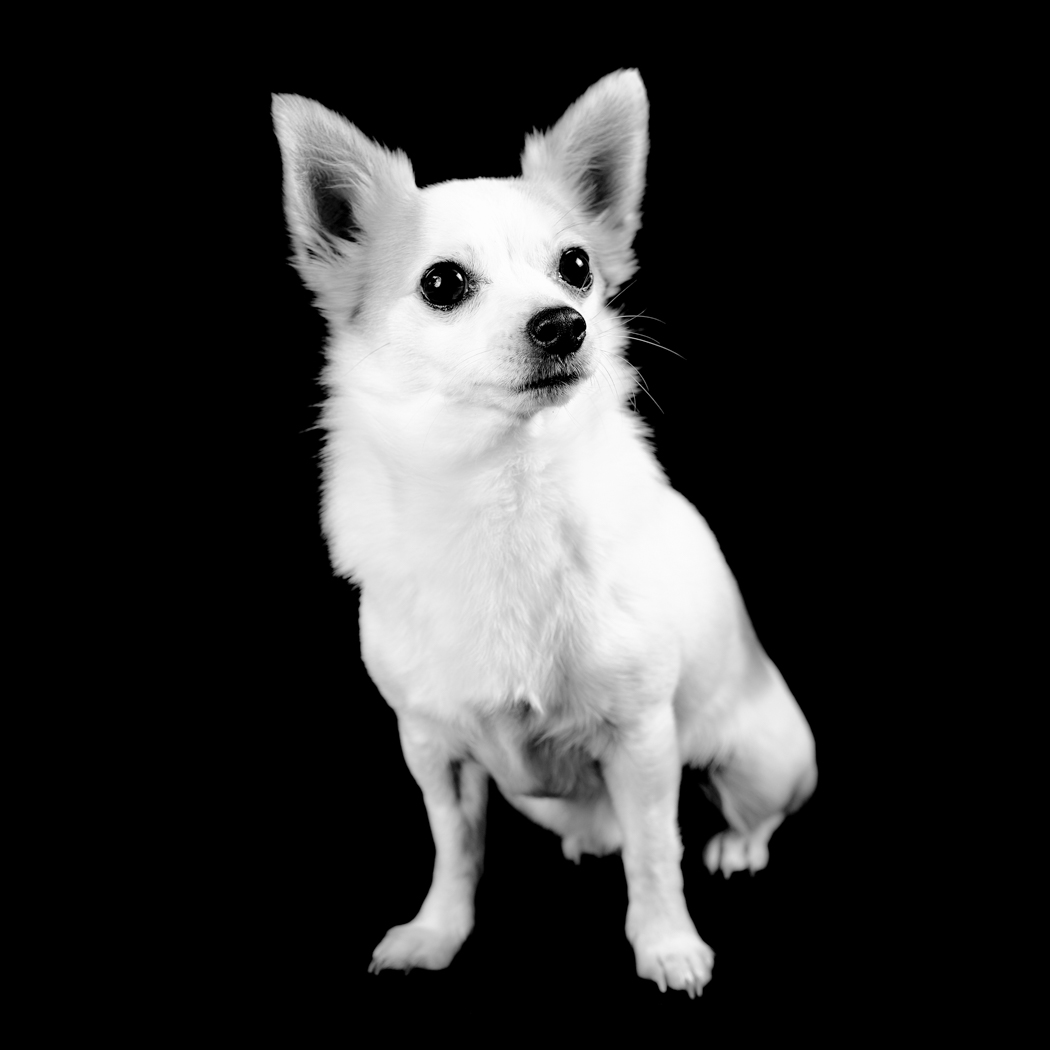 Jack - Jack Russell Chihuahua, Jack Chi, white sat down facing forward against a black background.