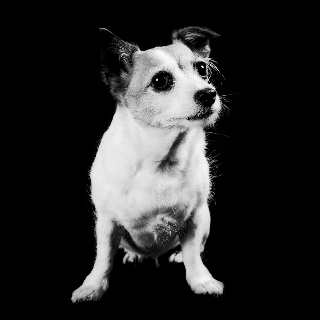 Jack Russell cross sat down facing forward moulting on a black background