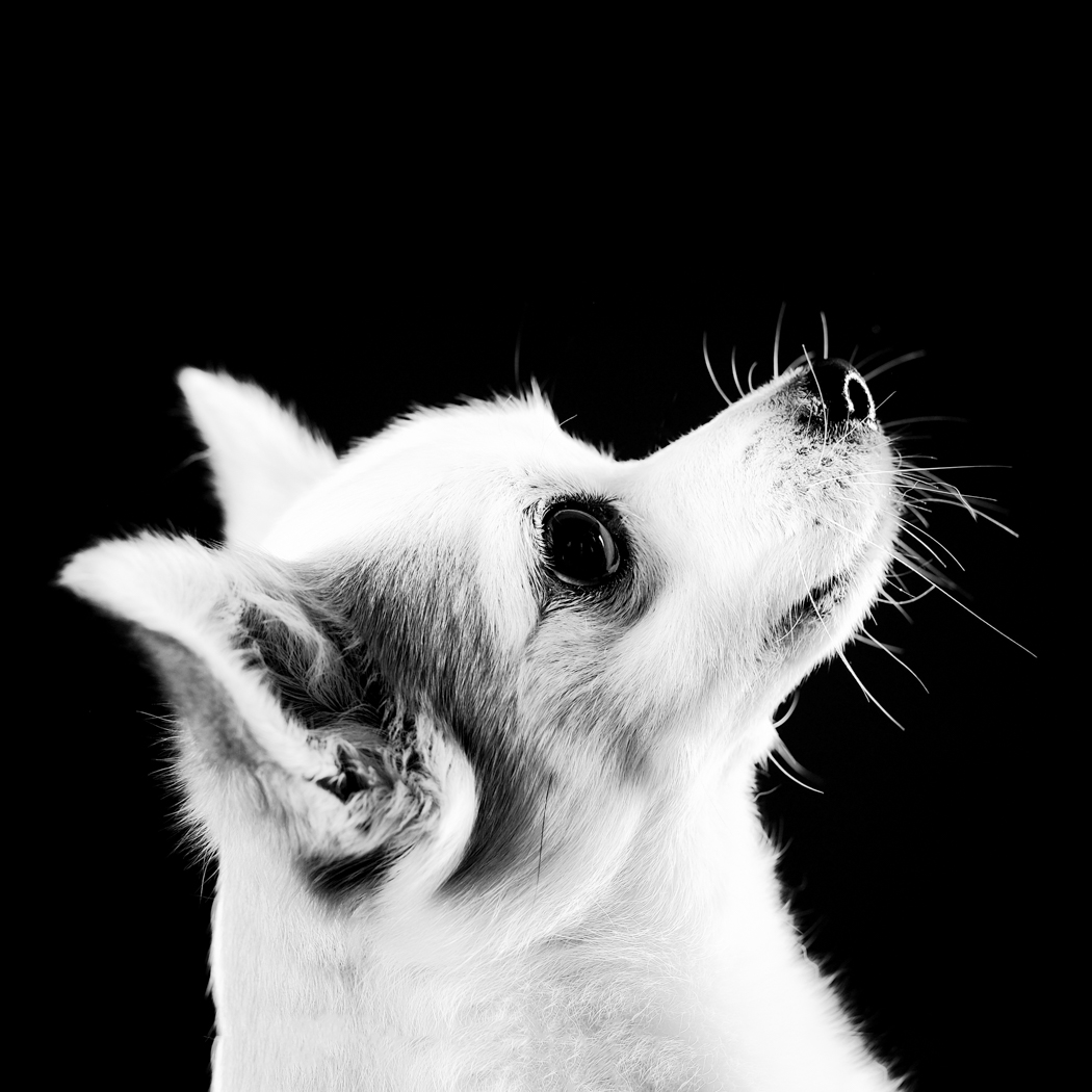 Jack - White Jack Russell Chihuahua, Jack Chi profile photo of face looking up in black and white.