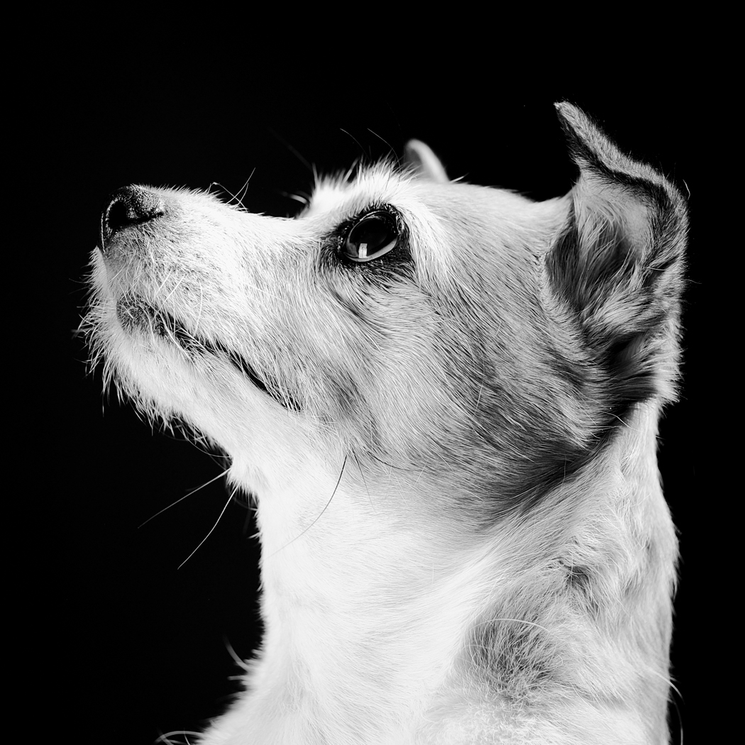 Poppy - Jack Russell cross side on profile photo looking up in black and white