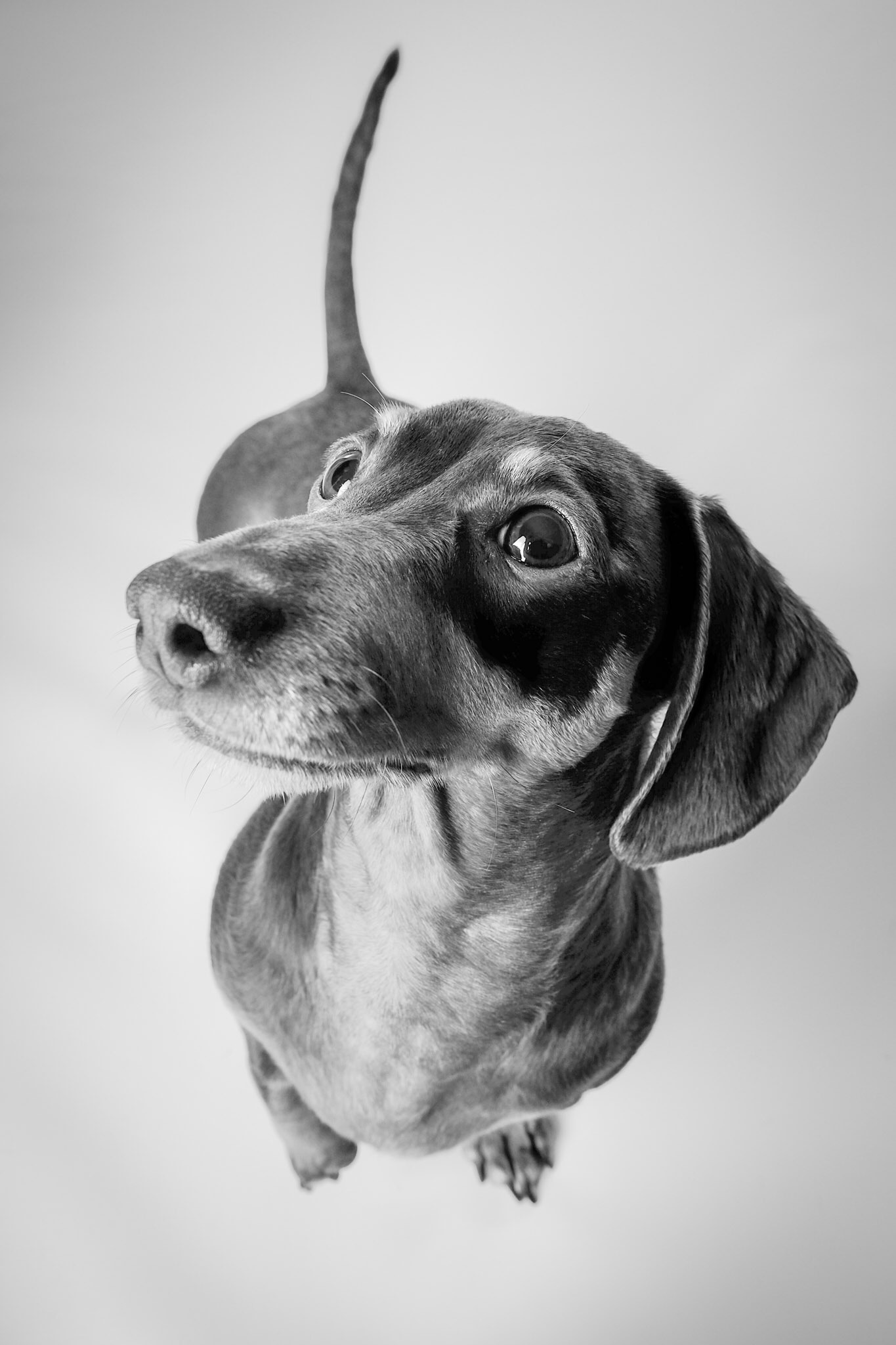Mabel the Miniature Daxi looking into the camera in black and white