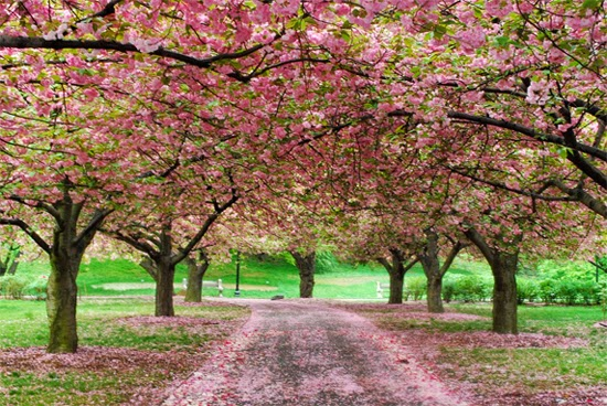 Cherry+Blossoms2.jpg