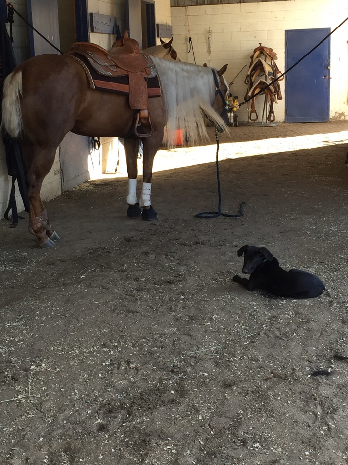 """""""Davis"""" oversees the tacking up and grooming of Susan Wilson's """"Tag Yer Shiney"""" in preparation for a show."""