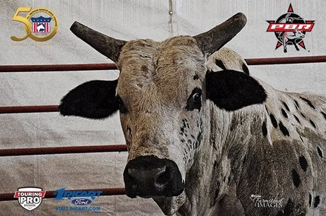 One of the bulls at the PBR