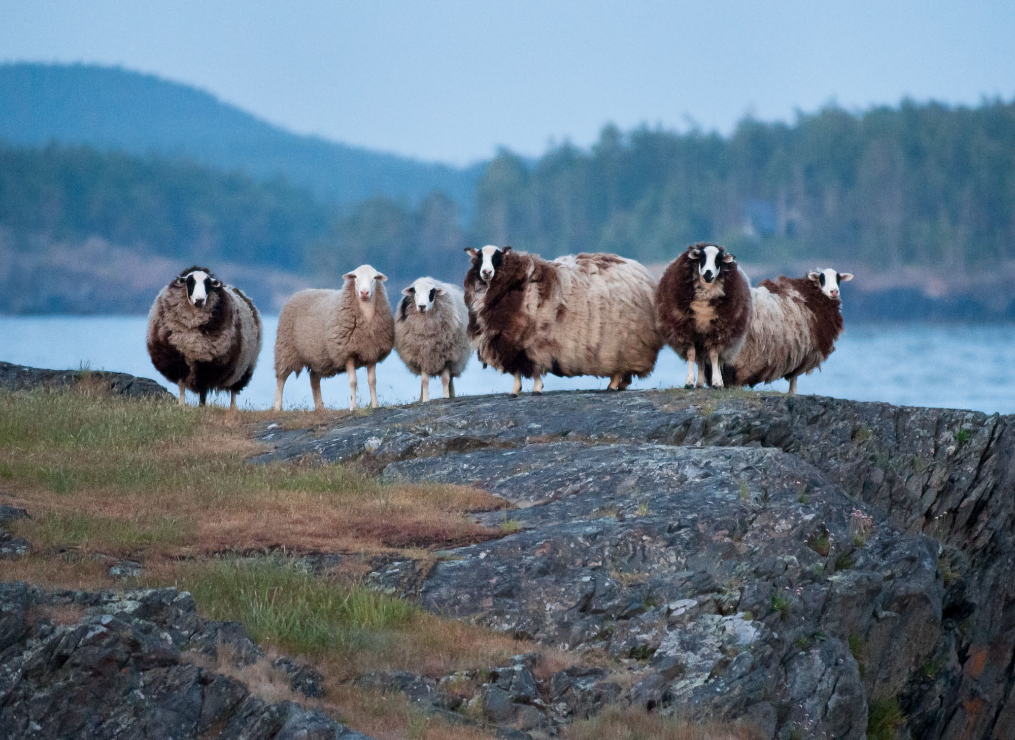 Sheep with their wooly coats