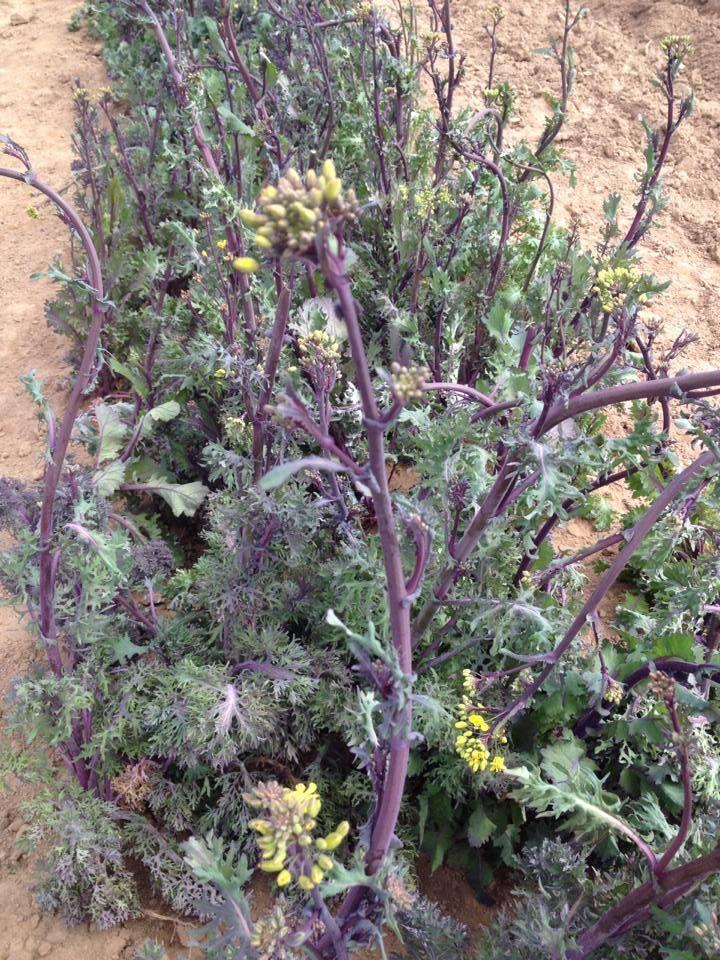 Seeding Kale