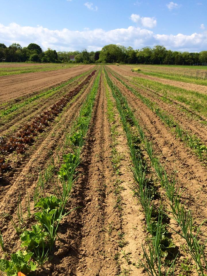Invincible Summer Farms Fields June 2014