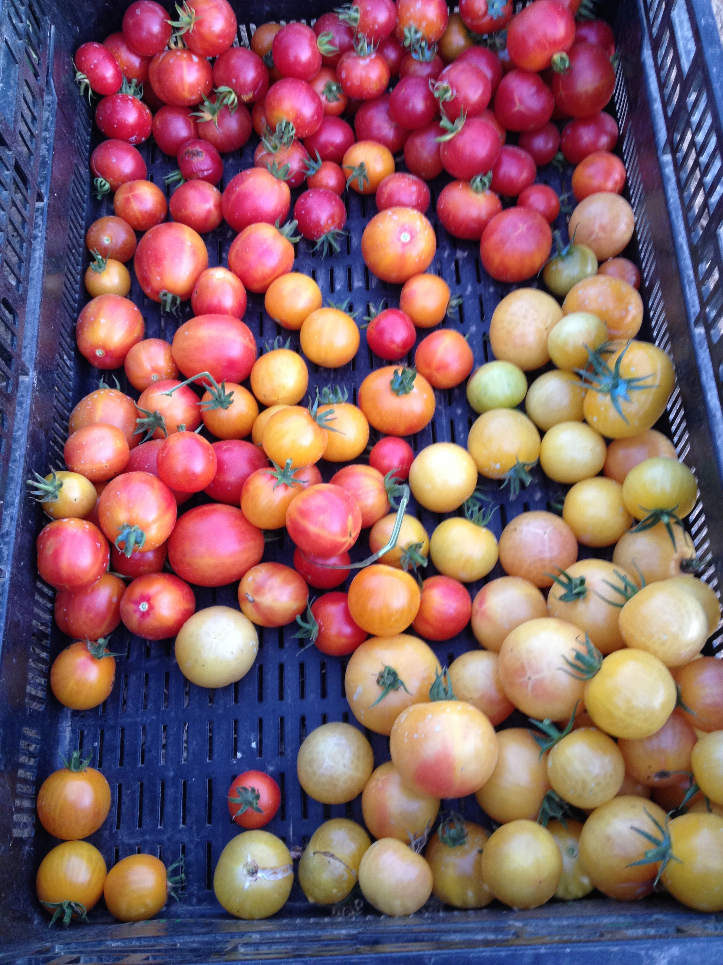 gajo de melon segregating into colors.jpg