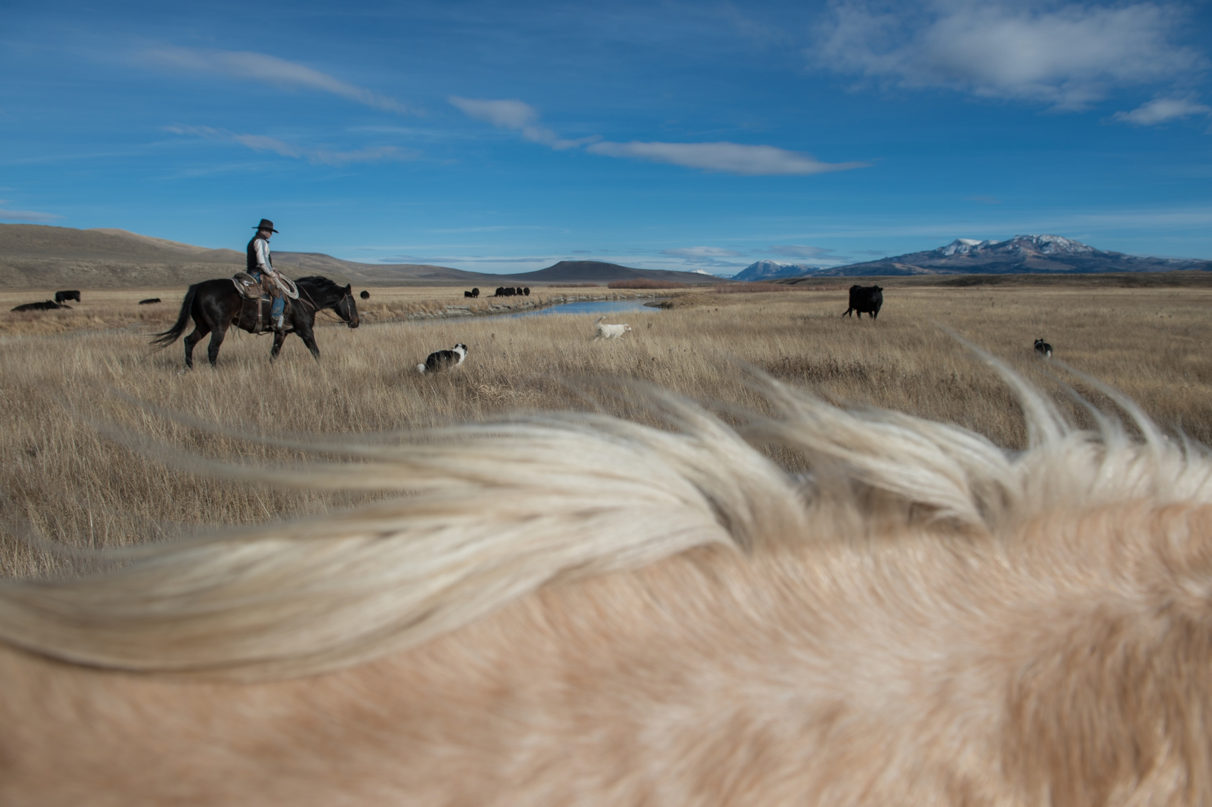 Stephen Becklund  and his dogs, Max and Ellie, herd cattle at the J Bar L ranch on a sunny November day in the Centennial Valley of southern Montana. 2012   © Ami Vitale