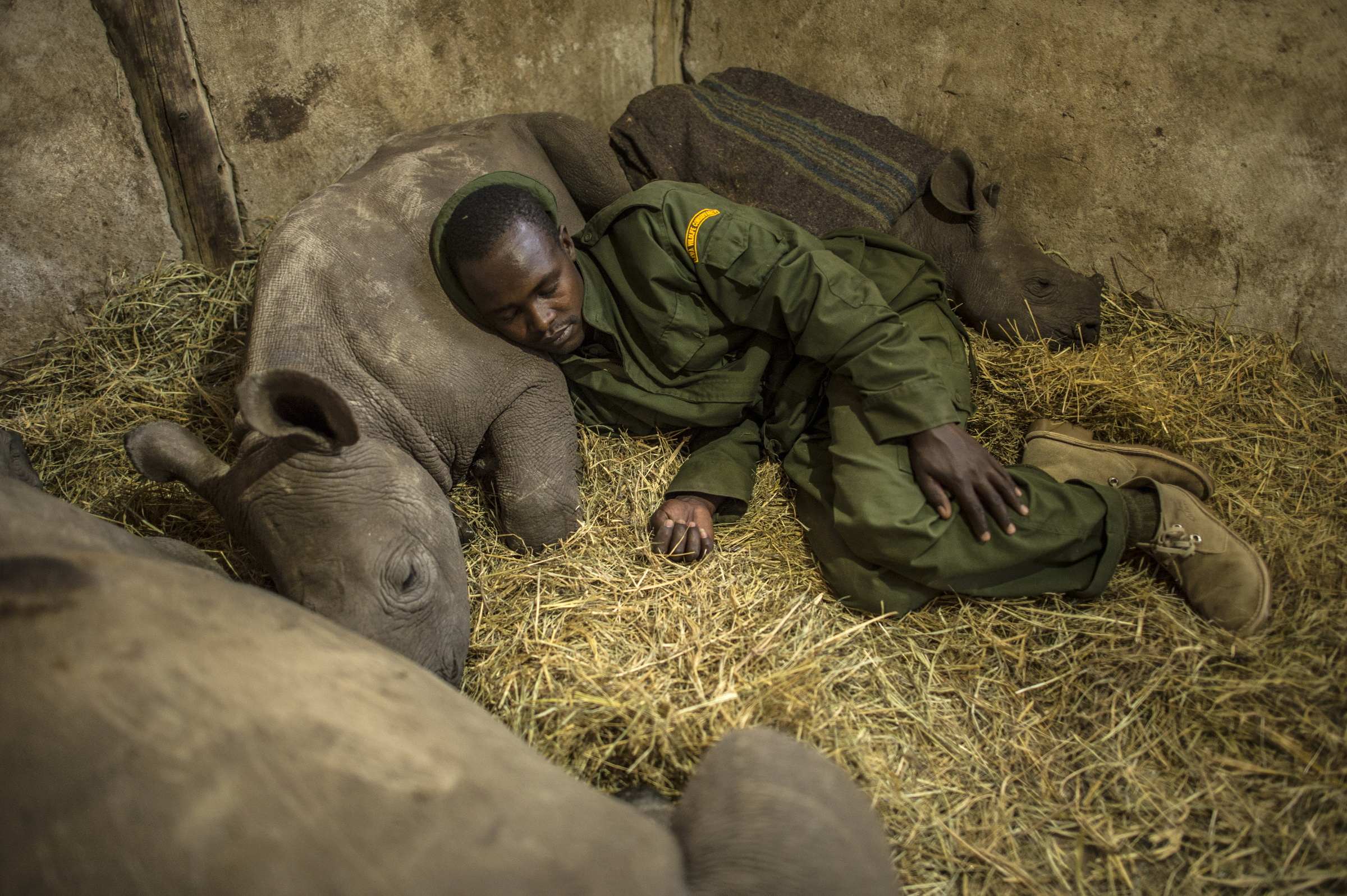 Yusuf , a keeper, sleeps with three orphaned baby rhinos at the Lewa Wildlife Conservancy  in northern Kenya . The youngest rhino on the right was orphaned when poachers killed his mother on Ol Pejeta Conservancy. 2013   © Ami Vitale