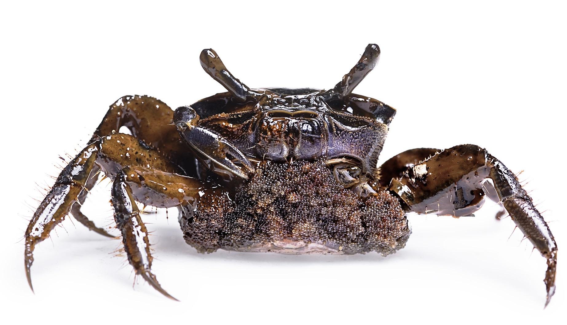 BP Gulf Oil Spill: Pregnant fiddler crab, Myrtle Grove, LA © Stephen Wilkes