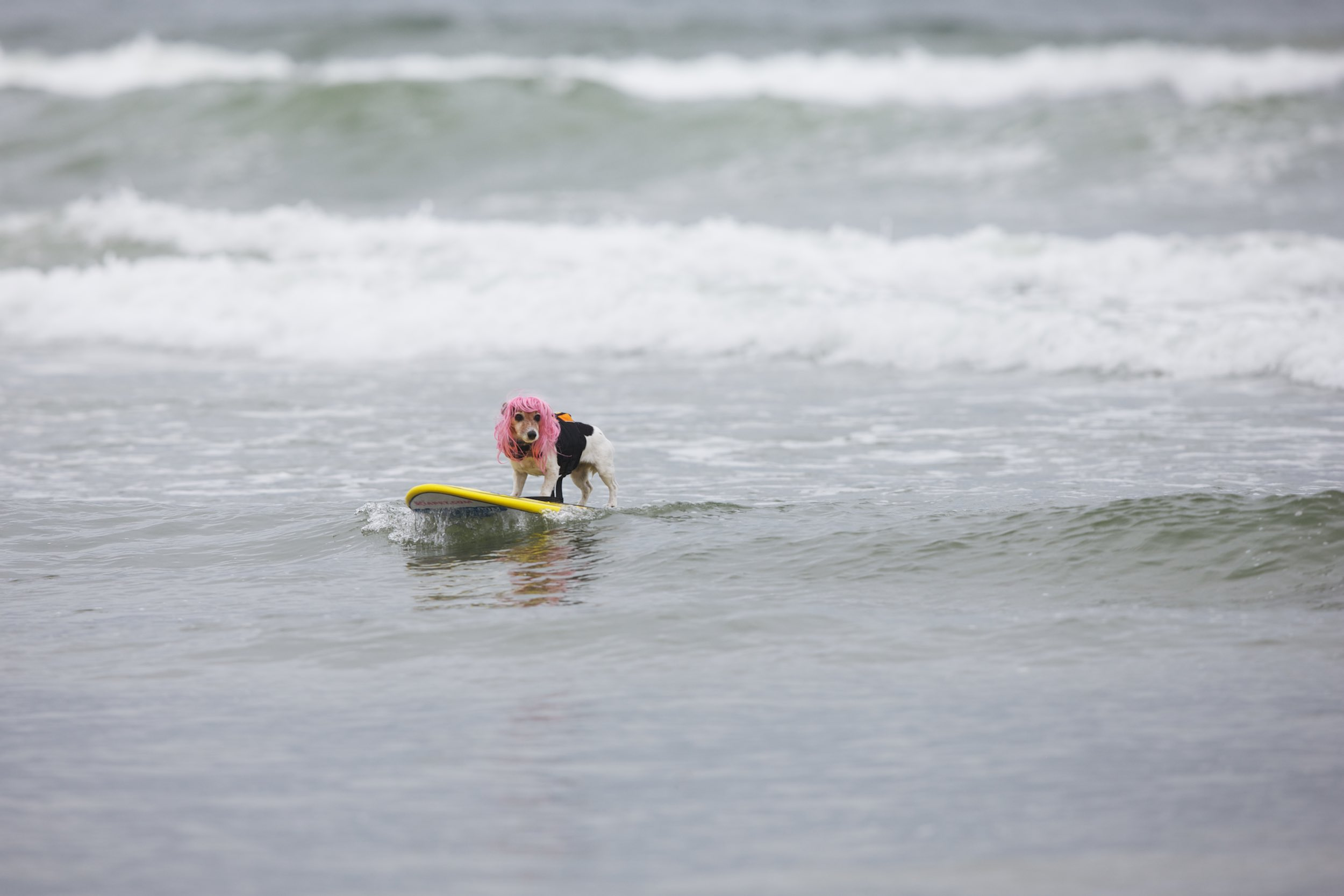 Dog surfing seems like a fun idea for a dog owner. That's not always the case for the dog.© Sol Neelman