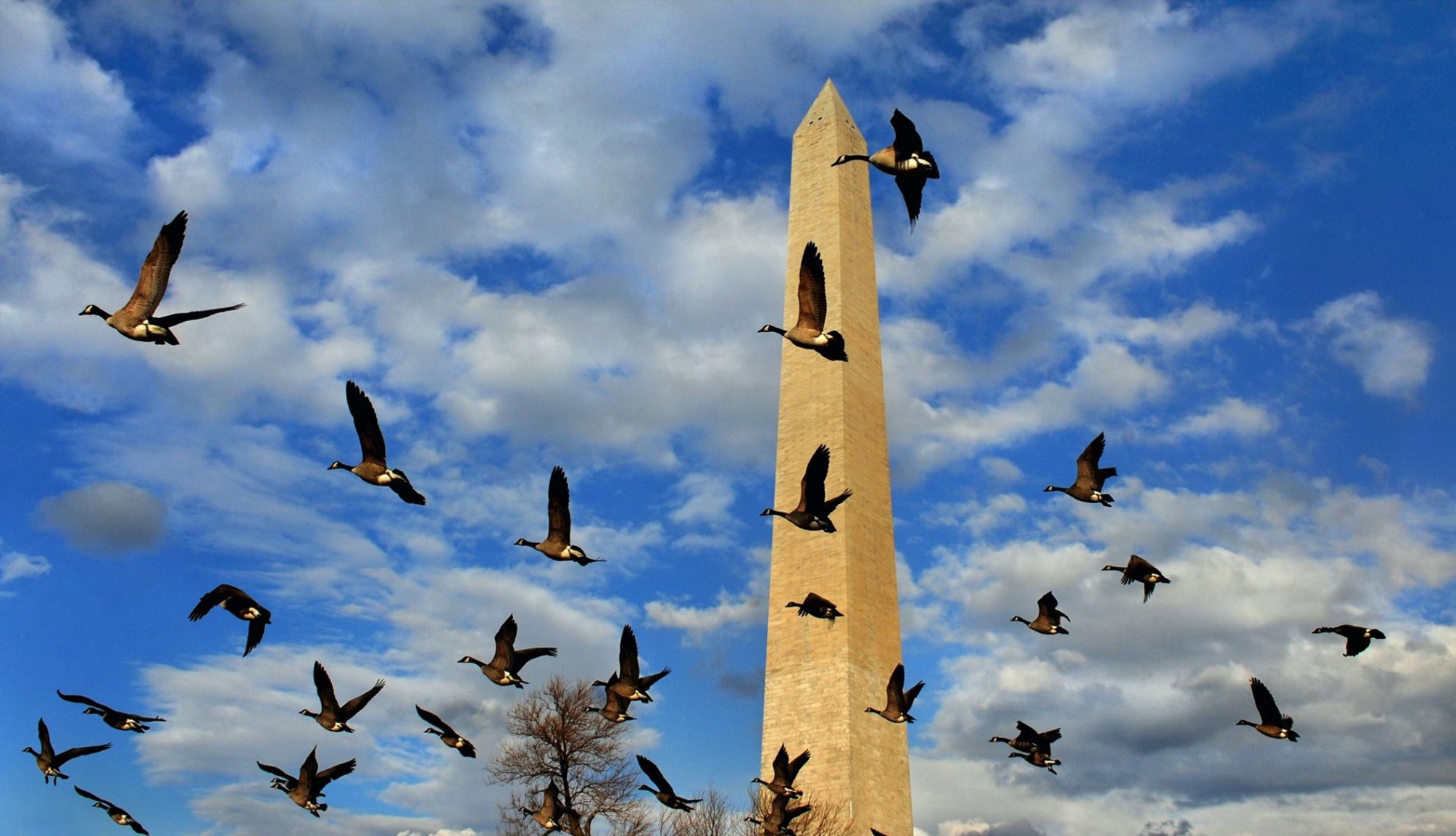 Made a photo of the Washington Monument for a President's Day story that ran today. It was so dang cold but the light is clean and crisp when it's really cold. I had a nice angle in mind but it needed something more. So I bribed several birds with some birdseed (wink) if they would agree to help me out. After training them and explaining where I wanted them to fly, they flew into the frame and helped make the composition better. Normally I would just wait in the cold and hope to get lucky but hiring stunt birds seemed more like what a real pro would do. Besides..my fingers were frozen so I had to wing it! © 2015 Michael S. Williamson/The Washington Post