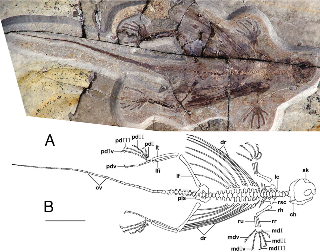"""Cretaceous Xianglong """"Flying Dragon""""could glide using oversized ribs."""