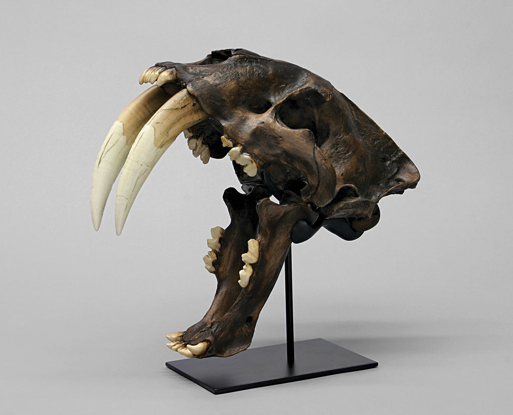 La Brea Smilodon fatalis (saber tooth tiger) skull cast with jaws at maximum gape, photo by Bone Clones.