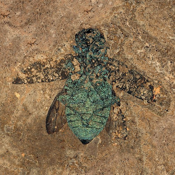 Fossil jewel beetle from Messel Pit, still showing color of the exoskeleton, photo by Torsten Wappler, Hessisches Landesmuseum Darmstadt.