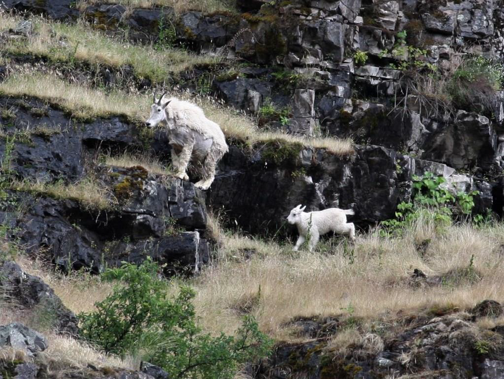 June McAtee took this awesome shot of the mountain goats cavorting near Hells Canyon Dam on the Wild Sheep Creek Formation.
