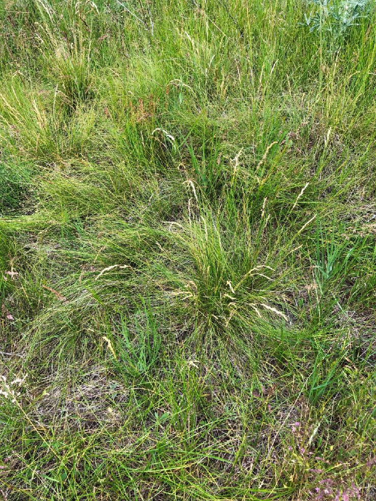 Bunchgrass and native prairie species tend to mass in bunches, leaving space to develop a 'biological crust' in between comprised of slow growing moss and lichen.