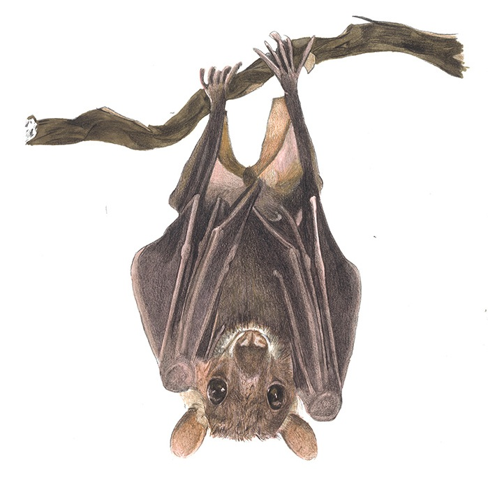 Fledermaus / Pipistrello