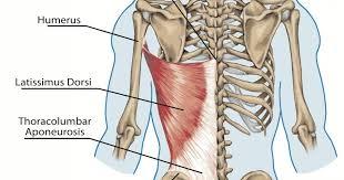 lat muscle.jpeg