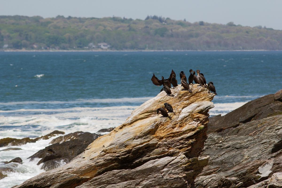 Cormorants sunning