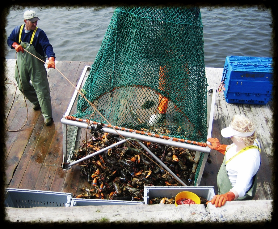 Lobsters being dragged from the pound in Nova Scotia.