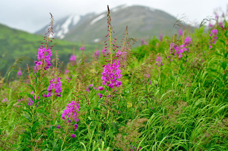 Photo source: http://mtpr.org/post/fireweed-colorful-reminder-change
