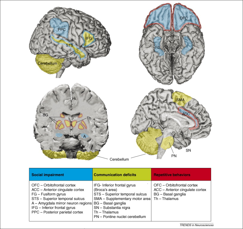Brain areas that have been implicated in the mediation of the three core behaviors that are impaired in autism: social behavior, language and communication, and repetitive and stereotyped behaviors. Amaral et al. 2008, Trends in Neurosciences.