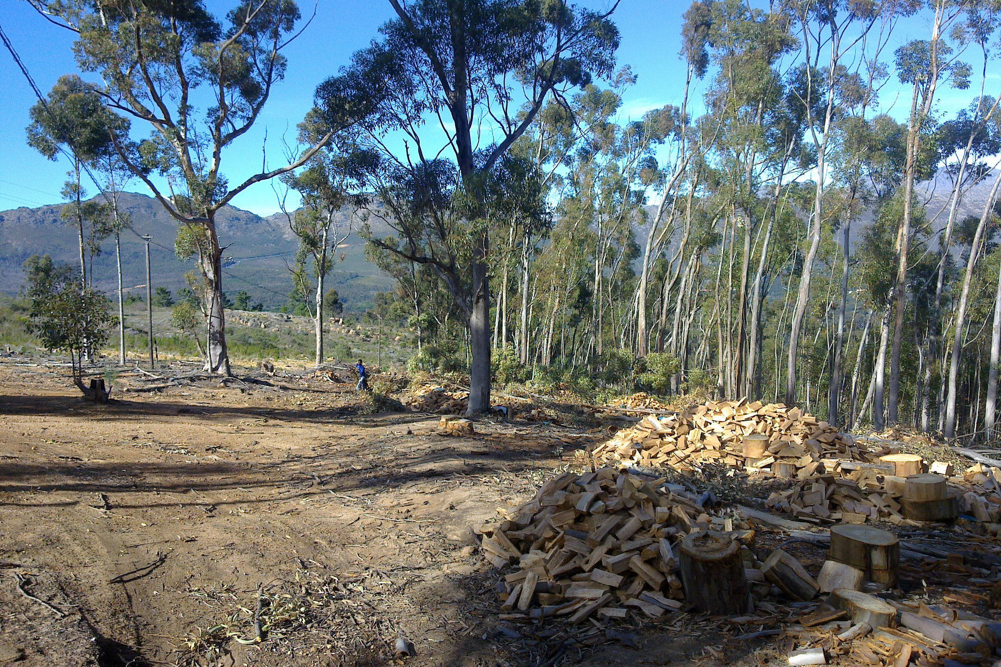 Clearing the alien Blue Gums to make way for a conservation corridor