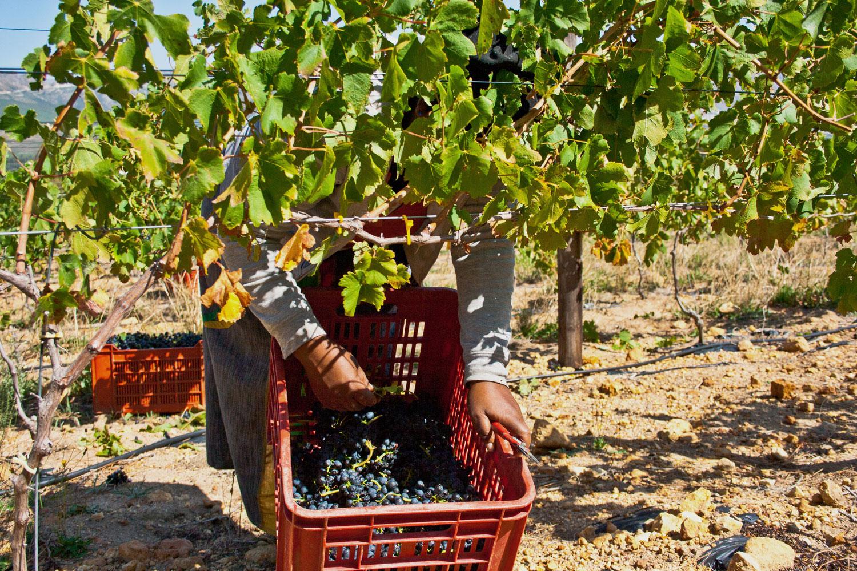 Skaap-Wines-Vines-3.jpg