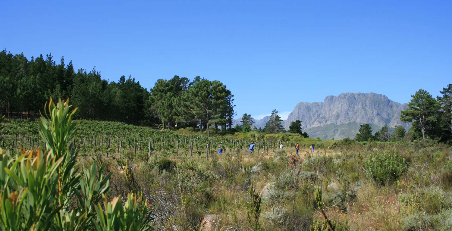 View of the Shiraz vineyard from a section of the fynbos rehabilitation corridor