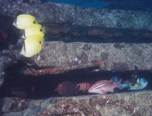 Reef Fish Utilizing a Manmade Reef