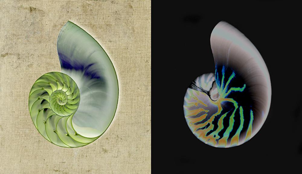 David Jordan Williams - nautilus shells +