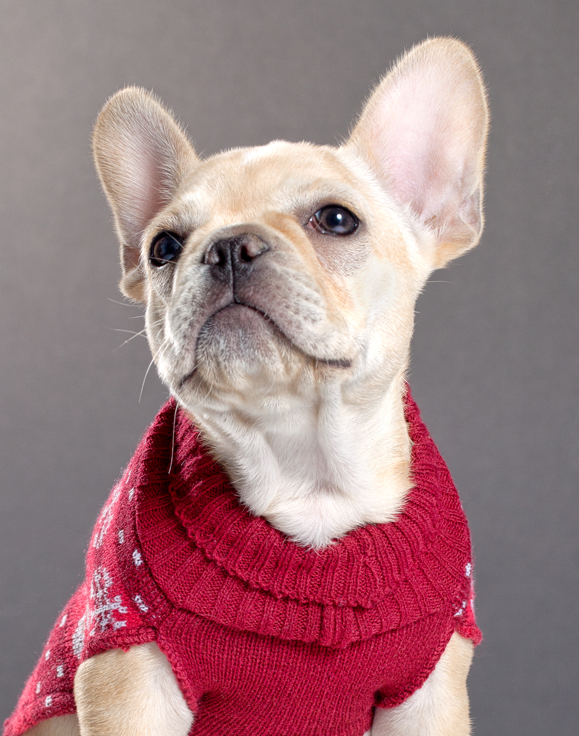 French Bulldog - David Gary Lloyd Pet Photography