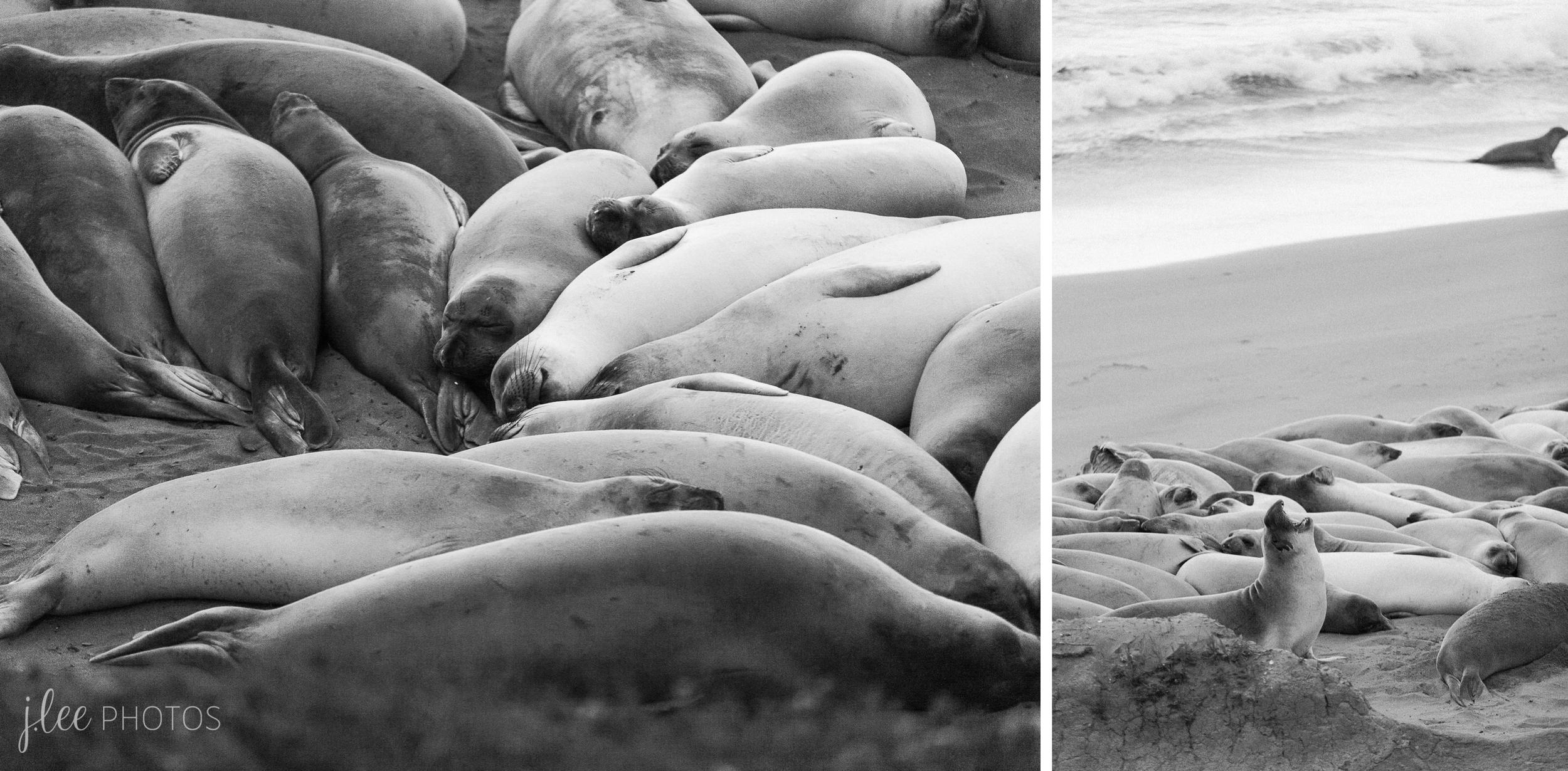 Piedras Blancas Elepahnt Seal