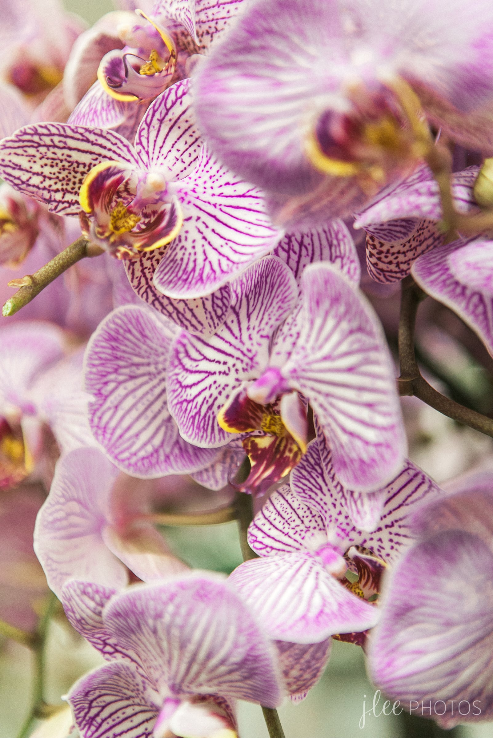Los Angeles Flower Mart Orchid
