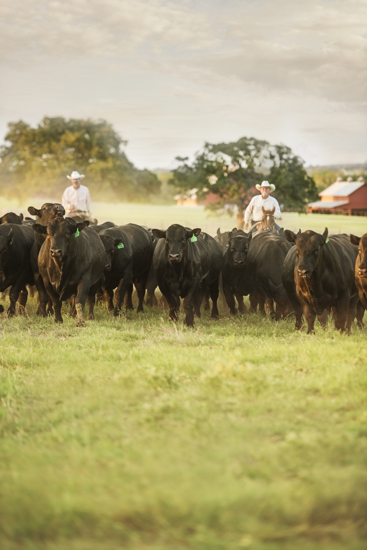 44 Farms cattle drive