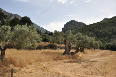 there were beautiful, twisted olive trees all over Mallorca