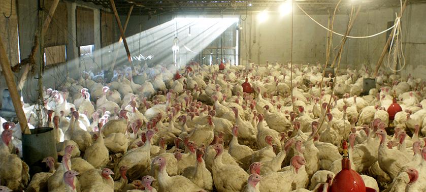Turkeys WS.jpg