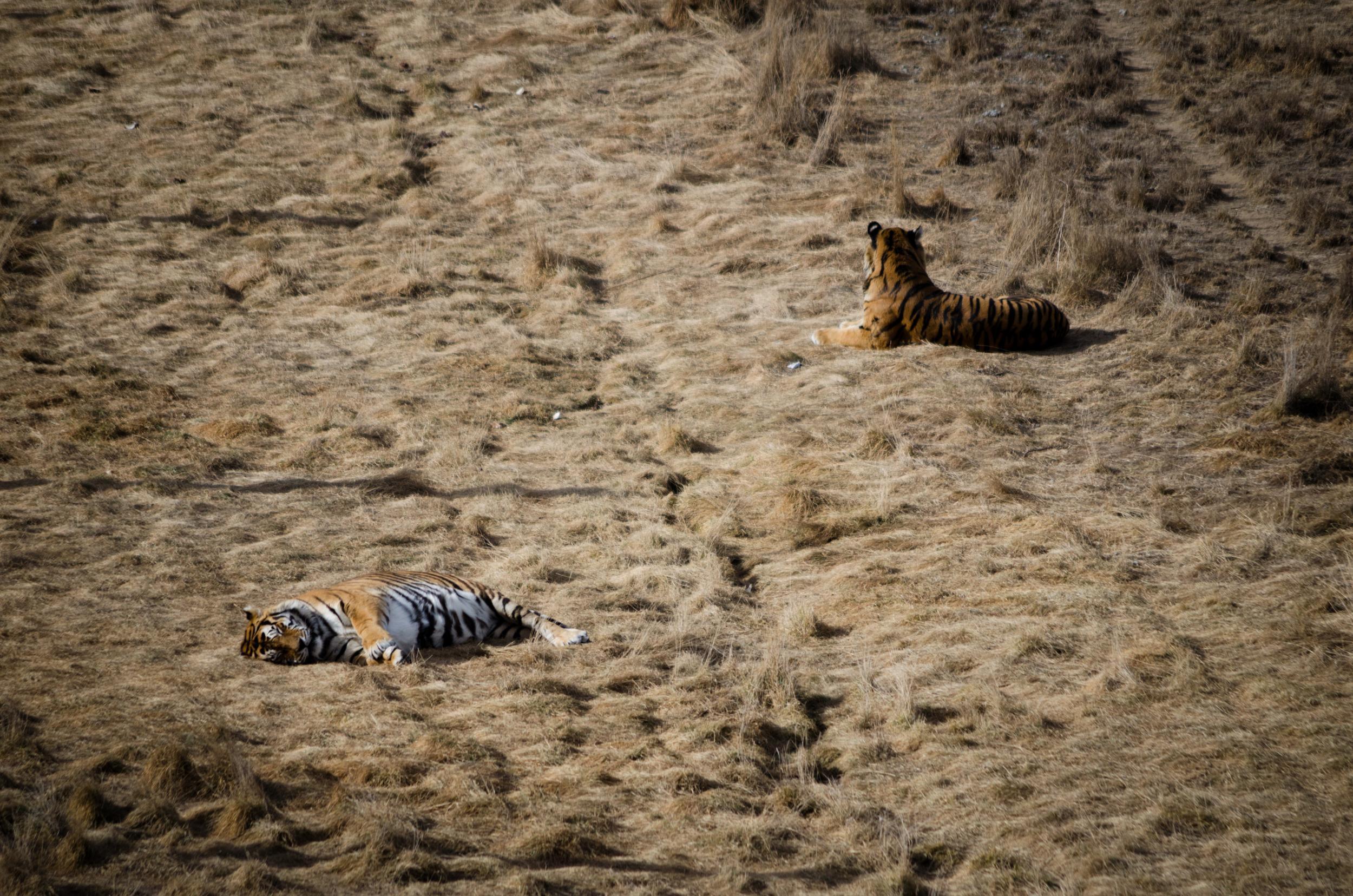 Tigers at Colorado Wild Animal Sanctuary 2015