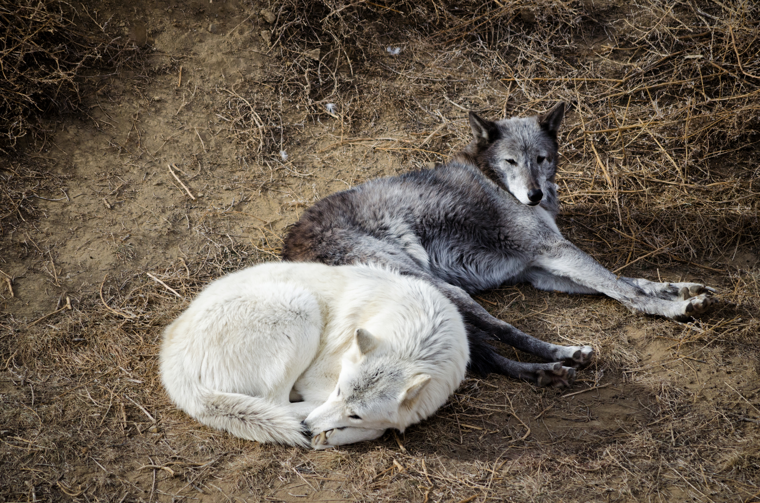 Wolves at the Colorado Wild Animal Sanctuary 2015