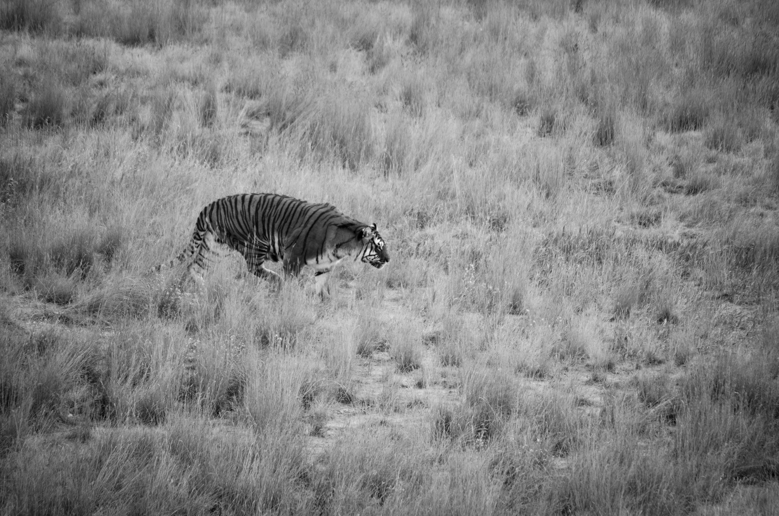 Tiger stalking at Colorado Wild Animal Sanctuary 2015